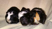 Meerschweinchen Obelix,Idefix und Asterix von kattobello