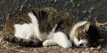 Schlafende Katze von kattobello