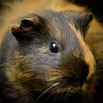 Schildblattmeerscheinchen Portrait von kattobello