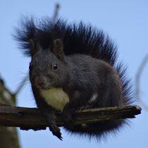 Schwarzes Eichhörnchen auf einem Ast by kattobello