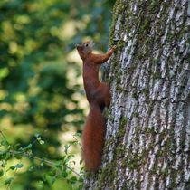 Rotes Eichhörnchen am Baumstamm von kattobello
