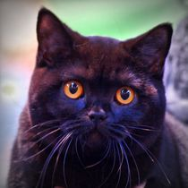 Britisch Kurzhaar Katze von kattobello