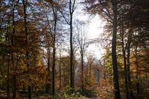 Herbstlicher Buchenwald by Ronald Nickel