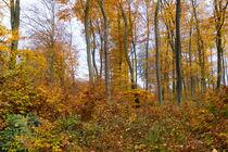 Buchenwald im Herbst by Ronald Nickel