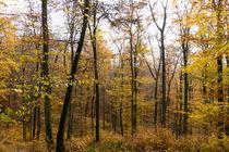 Goldener Herbst im Buchenwald by Ronald Nickel
