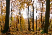 Goldener Herbst im Laubwald by Ronald Nickel