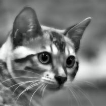 Bengal Cat in black and white by kattobello