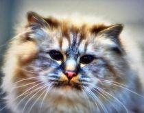 Dreamy longhair cat von kattobello