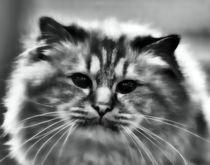 Longhair Cat in black and white von kattobello
