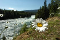 Beautiful margerite in front of a wild river in Canada by stephiii