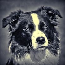 Border Collie in black and white 3 von kattobello