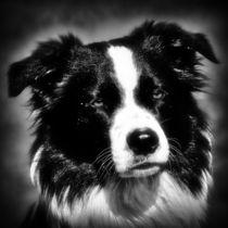 Border Collie in black and white 2 von kattobello