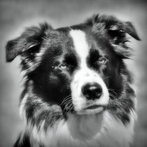 Border Collie in black and white 1 by kattobello