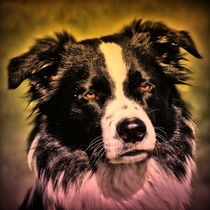 Border Collie rosa gelben Lichtschein 2 by kattobello