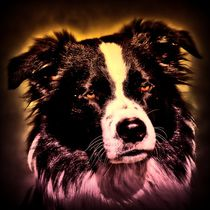 Border Collie rosa gelben Lichtschein 1 by kattobello