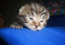Kitten opens eyes by Yuri Hope