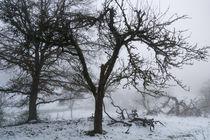 Ein alter Apfelbaum im Nebel by Ronald Nickel