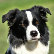 Border Collie by kattobello