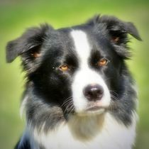 Dreamy Border Collie von kattobello