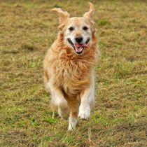 Running Golden Retriever 1 by kattobello