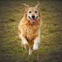 Running Golden Retriever 2 von kattobello
