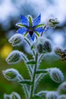Die Blüte des Borretsch im Morgentau von Ronald Nickel