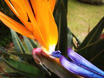 Strelitzia in close up. von Ro Mokka