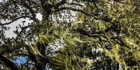 Bhutanese-tree