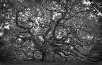 Angel Oak  by O.L.Sanders Photography