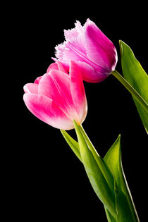 Pink and Red Tulips on Black Background von maxal-tamor