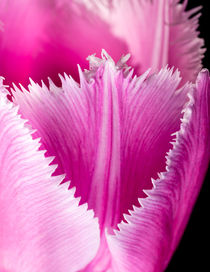 Pink Fringed Tulip on Black Background by maxal-tamor