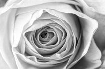 Macro of Yellow Rose by maxal-tamor