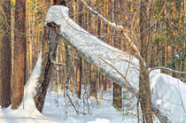 Winter. Forest. Broken tree by mnwind