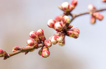 Apricot Tree Buds by maxal-tamor
