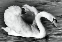 Swan in black and white von kattobello