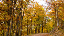 Goldener Herbst im Eichenwald by Ronald Nickel