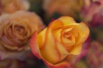 Rosen by Heidi Bollich