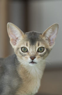 Abessinier Kitten / 29 von Heidi Bollich