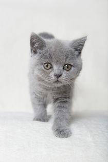 Britisch Kurzhaar Kitten / 85 von Heidi Bollich