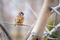 Eurasian Tree Sparrow on the Branch by maxal-tamor