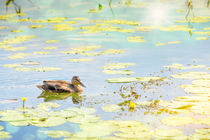 Female Duck Swimming von maxal-tamor