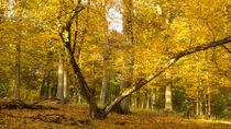 Goldener Herbst im Oktober by Ronald Nickel