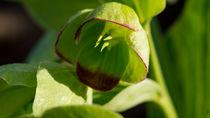Grüne Blüte mit roten Rand. von Ronald Nickel