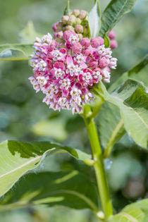 Asclepias Flower von maxal-tamor