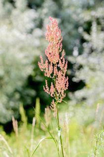 Rumex Acetosella in the Meadow von maxal-tamor