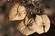 drei Blütenblätter von Frank  Kimpfel