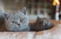 Britisch Kurzhaar Kitten / 91 by Heidi Bollich