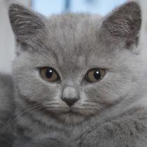 Britisch Kurzhaar Kitten / 87 von Heidi Bollich