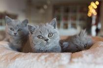 Britisch Kurzhaar Kitten / 92 von Heidi Bollich