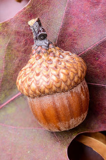 Macro of Acorn by maxal-tamor